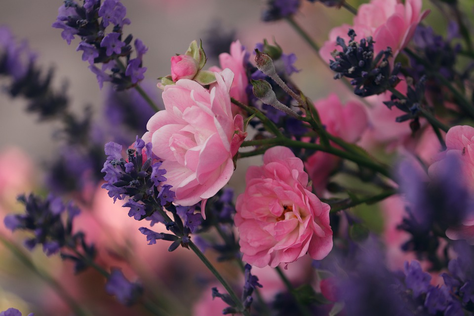 lavender 5326246 960 720